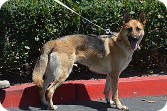 German Shepherd Dog Dog for adoption in Irvine, California - Bella