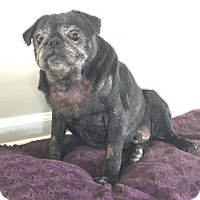 Pug Dog for adoption in Gardena, California - Rocky