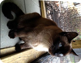 Siamese Cat for adoption in Milton, Massachusetts - Mr. Muffin