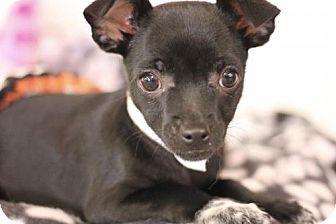 Chihuahua/Miniature Pinscher Mix Puppy for adoption in Phoenix, Arizona - Gina