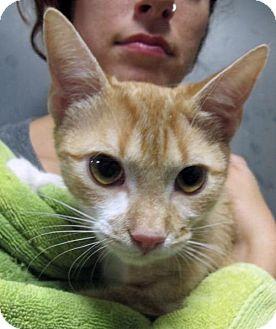 Domestic Shorthair Kitten for adoption in Brooklyn, New York - Stevie is a Sweetie!!Sweet Wee Orange!
