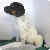 Adopt A Pet :: Nickel - Manning, SC