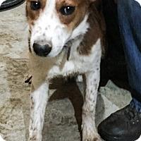 Adopt A Pet :: Boss - Parker, KS