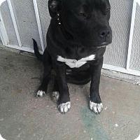 Adopt A Pet :: Clarisse - Las Vegas, NV