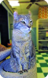 American Curl Cat for adoption in Toledo, Ohio - FERRARI