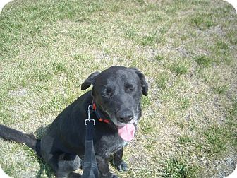 Labrador Retriever Dog for adoption in Windsor, Missouri - Judd