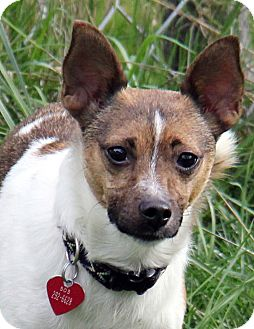 Terrier (Unknown Type, Small)/Shiba Inu Mix Dog for adoption in Portland, Oregon - Neil