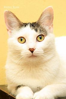 Domestic Shorthair Cat for adoption in Sterling Heights, Michigan - Shiloh