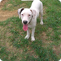 American Bulldog/Labrador Retriever Mix Dog for adoption in Nashville, Georgia - Georgia