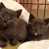Adopt A Pet :: Steel - Merrifield, VA