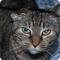 Domestic Shorthair Cat for adoption in Pottsville, Pennsylvania - ChiChi