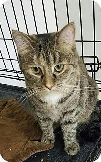 Domestic Shorthair Cat for adoption in Carroll, Iowa - Cara
