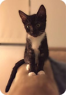 Domestic Shorthair Kitten for adoption in Los Angeles, California - Blu
