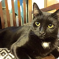 Adopt A Pet :: STINGO-Hidden Treasure Kitty - New York, NY