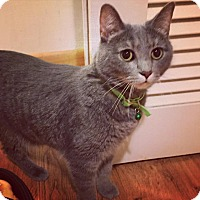 Domestic Shorthair Cat for adoption in Chicago, Illinois - Mica