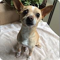 Adopt A Pet :: Paco_3Legged - Cleveland, OH
