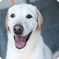 Labrador Retriever Dog for adoption in Canoga Park, California - Derek