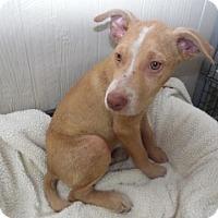 Pit Bull Terrier Mix Puppy for adoption in Clarksville, Arkansas - Leonard