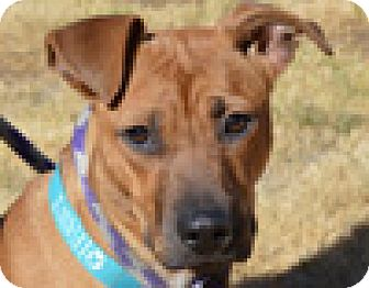 Boxer Mix Dog for adoption in Portola, California - Daisy