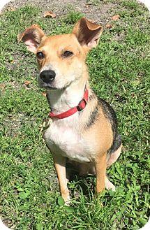 Beagle Mix Dog for adoption in Boca Raton, Florida - Bebe