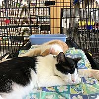Adopt A Pet :: Domino - Keller, TX