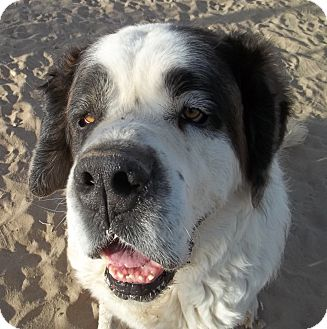 St. Bernard Dog for adoption in Sparks, Nevada - Devlin