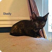 Domestic Shorthair Kitten for adoption in Fenton, Missouri - Shelley
