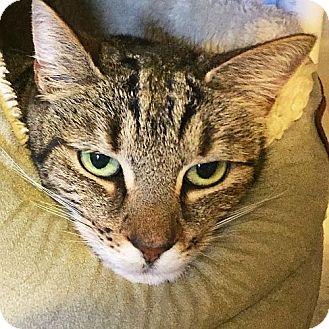 Domestic Shorthair Cat for adoption in Port Angeles, Washington - Misty