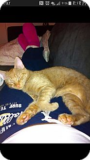 Domestic Shorthair Cat for adoption in Baltimore, Maryland - Piper (COURTESY POST)