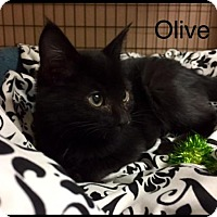 Domestic Shorthair Kitten for adoption in Jasper, Indiana - Olive