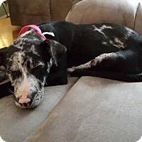 Catahoula Leopard Dog Mix Puppy for adoption in Richmond, Virginia - OREO