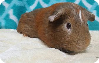 Guinea Pig for adoption in South Bend, Indiana - Hans