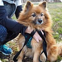 Adopt A Pet :: Yukon Cornelius - Whitehall, PA