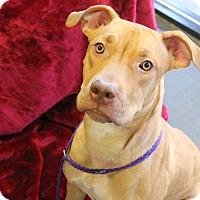 Adopt A Pet :: Baloo - Greensboro, NC
