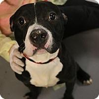 Adopt A Pet :: Tom Brady- ADOPTION PENDING - Warrenville, IL