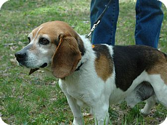 Beagle Dog for adoption in Waldorf, Maryland - Harvey