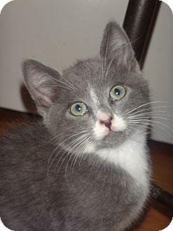 Russian Blue Kitten for adoption in Escondido, California - Ivan