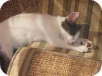 Domestic Shorthair Cat for adoption in Mission Viejo, California - Cameron
