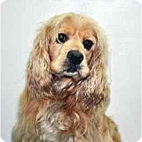 Adopt A Pet :: Shay - Port Washington, NY
