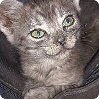 Adopt A Pet :: Victoria - Reston, VA