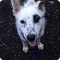 Adopt A Pet :: Annie - Bellingham, WA