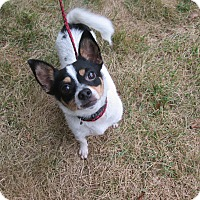 Chihuahua Mix Dog for adoption in Stamford, Connecticut - Pebbles