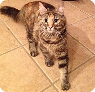Domestic Shorthair Cat for adoption in Madisonville, Louisiana - Clover