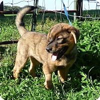 Adopt A Pet :: Colt - Bedminster, NJ