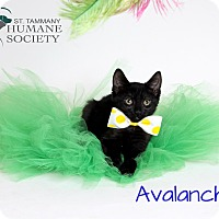 Adopt A Pet :: Avalanche - Covington, LA