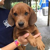 Adopt A Pet :: Gloria - Cashiers, NC