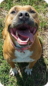 American Pit Bull Terrier Mix Dog for adoption in Wichita, Kansas - Pops