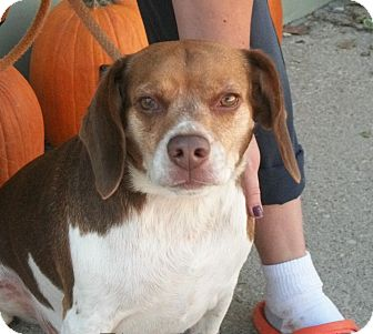 Beagle Mix Dog for adoption in Martinsville, Indiana - Ranger