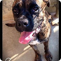 Boxer Dog for adoption in Hartford City, Indiana - Georgeanna