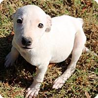 Adopt A Pet :: Nessa - Glastonbury, CT